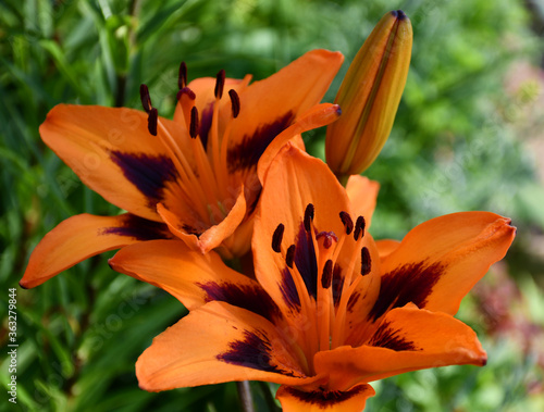 Fototapeta Inflorescence of orange lilies on the background of green grass in the garden