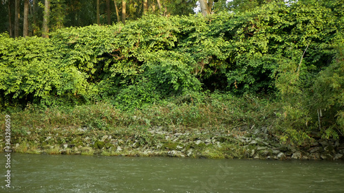 Fotografiet Knotweed Japanese, invasive expansive species of dangerous plants leaf in river