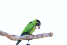 The Green Parrot On The Perch Is Eating The Seeds.