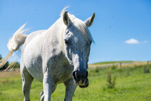 An Adult White Steed Against A...