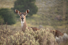Female Moutain Nyala Grazing In The Gaysay Grasslands In Bale Mountains National Park