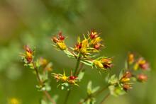 Macrophotographie De Fleur Sauvage - Millepertuis - Hypericum Perforatum