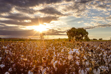 Sunset Over A Blooming Cotton ...
