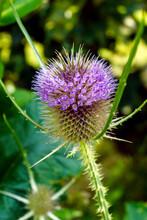 The Flowerhead Of Common Tease...