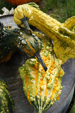 Vertical Closeup Of Several Decorative 'Autumn Wings' Gourds In A Variety Of Shapes And Colors In An Ornamental Display