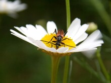 One Beetle On A Flower