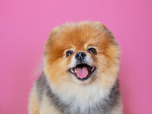 Red Spitz On A Pink Background...