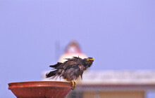 A Common Myna Bathing In A Bow...