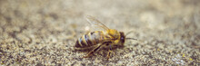 Bee On A Stone Road, Macro Photo