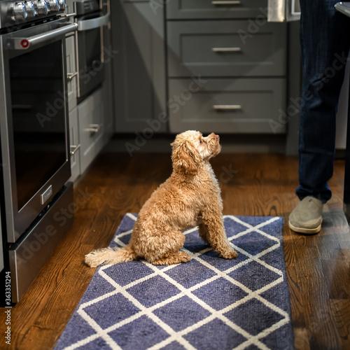 Fototapeta Dog Sitting On Hardwood Floor At Home obraz