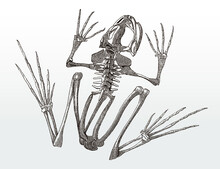 Skeleton Of A Frog In Top View...
