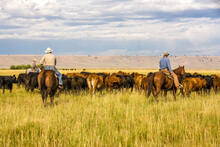 Paulina, Oregon - 8/7/2008:  Three Cowboys Moving A Herd Of Cattle To An Adjacent Pasture On A Cattle Ranch In Eastern Oregon Near Paulina, Oregon.