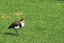 Masked Lapwing, Vanellus Miles, In Grassy Field
