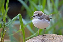 Snowy Plover, Charadrius Nivosus, Relaxed View