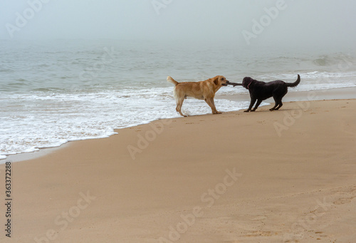 Foto Dogfighting on the cloudy beach