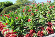 Bright Red Canna Flowers And B...