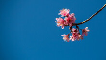 Low Angle View Of Pink Cherry Blossom Against Blue Sky