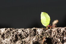 Leaf Cutter Ants, Carrying Leaf, Black And Blue Background