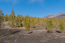 Several Trees And Bushes Emerging Among The Volcanic Stones Of A Mountain On The Teide On The Island Of Tenerife In Spain