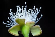 White Guava Flower