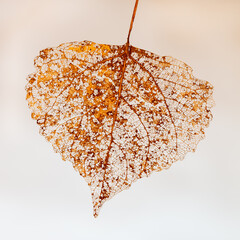 Closeup of decomposed leaf with white background