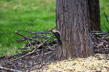 Red-bellied Woodpecker On A Tree