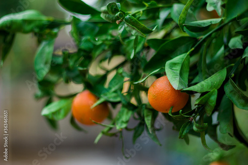 Fotografiet Close-up Of Orange Fruits On Tree