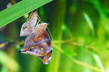 Autumn Leaf Butterfly Or  Leafwing Butterfly