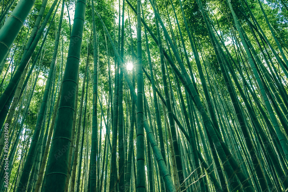 Fototapeta Low Angle View Of Bamboo Trees In Forest With Sun Peeking