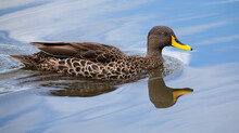 Lone Yellow Billed Duck Swimmi...