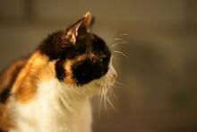 Tricolor Cat Closeup Face Port...