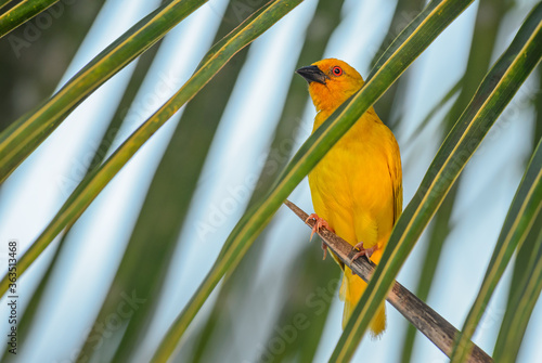 Eastern golden weaver - Ploceus subaureus, beautiful yellow weaver from African bushes and woodlands, Zanzibar island, Tanzania.