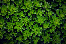 Dense Background Of Bright Green Shrub Leaves Close Up For Design
