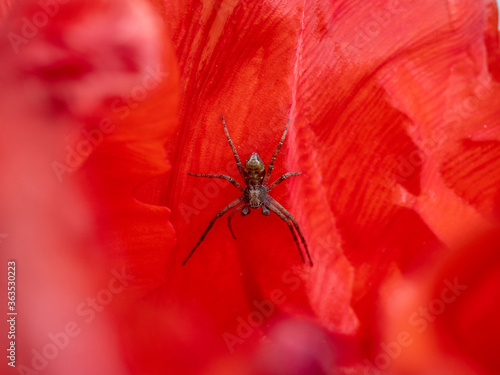 Spider Resting on a Tulip Petal Canvas Print