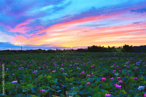 Fototapeta Beautiful dawn landscape with peony lotus flowers blooming in the pond   obraz na płótnie