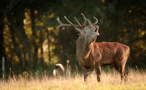 Vászonkép Deer Standing On Field