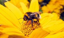 Bumblebee On Yellow Flower Eating Nectar. Bombus Lucorum On Sunflower In Summer.