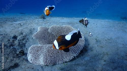 Foto Saddleback Clownfish Family At Pagkilatan