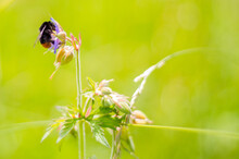 Nature: Bumblebee On Plant, Ma...
