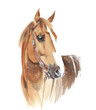 Horse head portrait beautiful animal race watercolor painting illustration isolated on white background