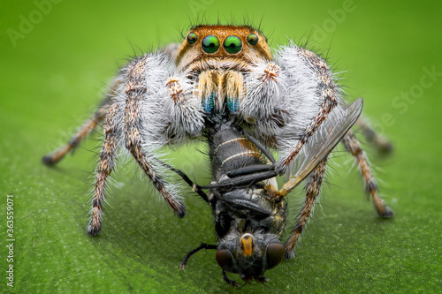 Slika na platnu Jumping Spider Eating Fly