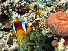 Clownfish, Amphiprion (Amphipr...