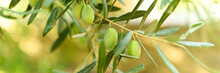 Green Olives Grow On A Olive Tree Branch In The Garden. Selective Focus. Banner