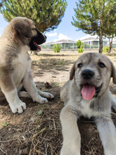 Puppy, Anatolian Shepherd Dog. Playing With His Brother In The Garden...