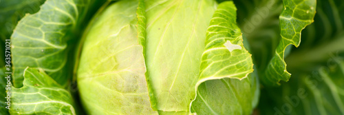 Photo head of ripe fresh honest white cabbage grows in the garden