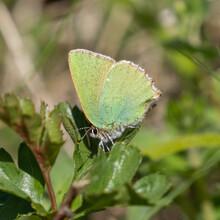 Green Hairstreak Butterfly Resting, Wings Closed