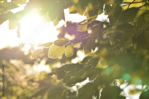 Fototapeta Sonnenstrahlen fallen durch das Blätterdach