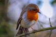 Close-up Of Robin Perching On Branch