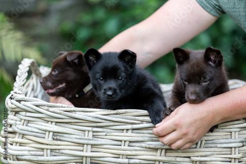 Wallpaper Mural Three Australian Kelpie Puppy Sitting In A Basket