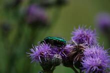 Grün Glänzender Käfer Auf Distel